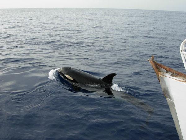 Une orque au large de Fleurs des Iles