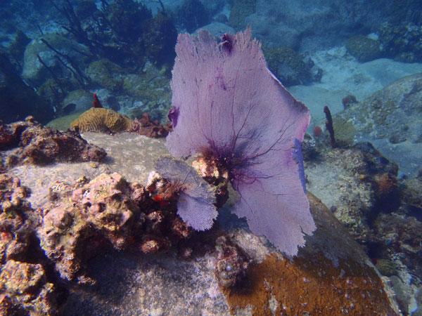 Fleurs des Iles - Coraux