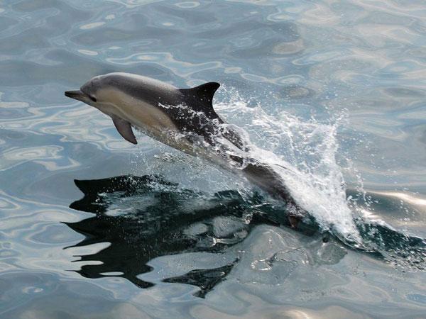 Un dauphin au large de Fleurs des Iles