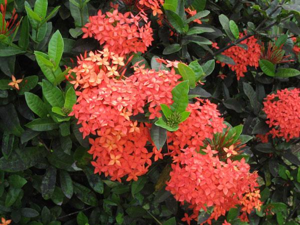 Fleurs des Iles , Mussaenda blanc Fleurs des Iles , Ixora rouge