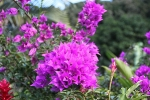Fleurs des Iles - Bougainville