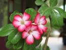Fleurs des Iles -Rose du désert