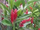 Fleurs des Iles - Alpinia