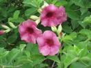 Fleurs des Iles - Allamanda mauve