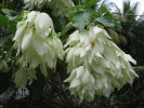 Fleurs des Iles - Mussaenda blanc