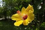 Fleurs des Iles - Hibiscus jaune