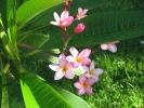 Fleurs des Iles - Frangipanier