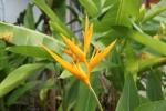 Fleurs des Iles - Héliconia