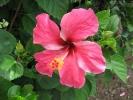 Fleurs des Iles - Hibiscus