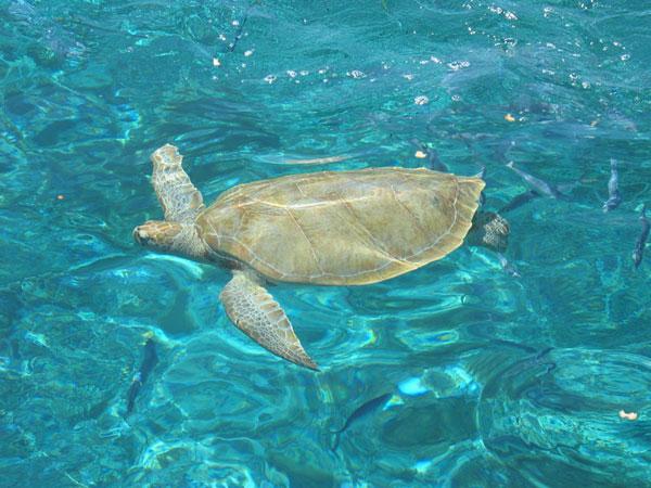 Fleurs des Iles - Une tortue
