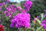 Fleurs des Iles - Bougainvillée