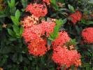 Fleurs des Iles - Ixora rouge
