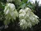 Fleurs des Iles - Mussaenda blanc
