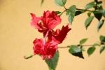 Fleurs des Iles - Hibicus rouge